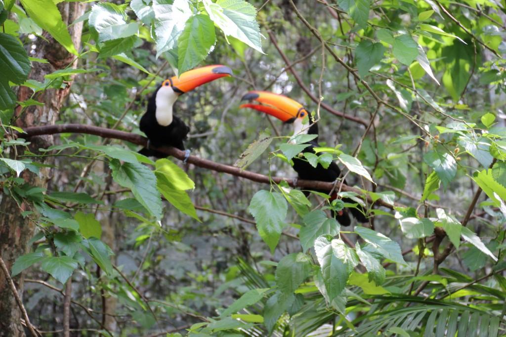 Twocan Toucans having a quarrel near the Brazilian side of the falls
